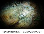 iguana on the ground in dark... | Shutterstock . vector #1029239977