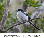 fiscal shrike perched on a... | Shutterstock . vector #1029284335