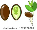 seedling and internal structure ... | Shutterstock .eps vector #1029288589
