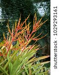 Small photo of brilliant inflorescence of Aechmea blanchetiana
