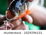 piranha fished in amazon rivers | Shutterstock . vector #1029296131