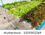 hydroponics vegetable farming... | Shutterstock . vector #1029302269