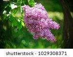 lilac blosoms. close up | Shutterstock . vector #1029308371