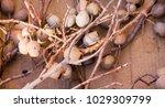 dried eucalyptus seed pods... | Shutterstock . vector #1029309799