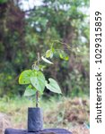 Small photo of Raphistemma hooperianum (Blume) Decne. (APOCYNACEAE) ASCLEPIADOIDEAE