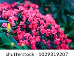 Gorgeous Begonia Plants In...