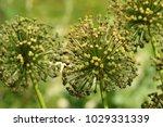 allium cristophii  persian... | Shutterstock . vector #1029331339