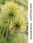 allium cristophii  persian... | Shutterstock . vector #1029331345