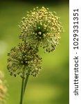 allium cristophii  persian... | Shutterstock . vector #1029331351