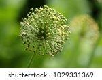 allium cristophii  persian... | Shutterstock . vector #1029331369