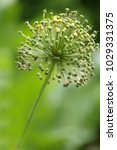 allium cristophii  persian... | Shutterstock . vector #1029331375