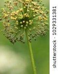 allium cristophii  persian... | Shutterstock . vector #1029331381