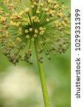 allium cristophii  persian... | Shutterstock . vector #1029331399