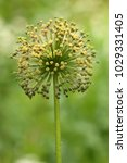 allium cristophii  persian... | Shutterstock . vector #1029331405