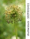 allium cristophii  persian... | Shutterstock . vector #1029331411