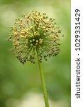 allium cristophii  persian... | Shutterstock . vector #1029331429