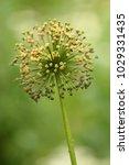 allium cristophii  persian... | Shutterstock . vector #1029331435