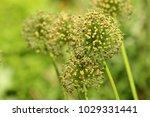 allium cristophii  persian... | Shutterstock . vector #1029331441