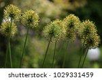 allium cristophii  persian... | Shutterstock . vector #1029331459
