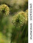 allium cristophii  persian... | Shutterstock . vector #1029331465
