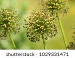 allium cristophii  persian... | Shutterstock . vector #1029331471