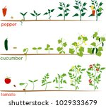 three cycles of growth of... | Shutterstock .eps vector #1029333679