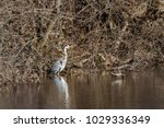 gray heron in the orbigo river. ... | Shutterstock . vector #1029336349