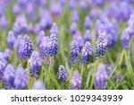 grape hyacinth muscari... | Shutterstock . vector #1029343939