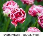 tulips wedding gift on a... | Shutterstock . vector #1029375901