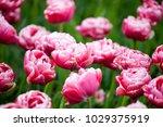 tulips wedding gift on a... | Shutterstock . vector #1029375919