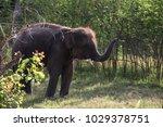 asia elephant in surin thailand | Shutterstock . vector #1029378751