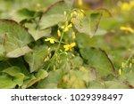 barrenwort  bishop's hat  fairy ... | Shutterstock . vector #1029398497