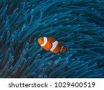 orange nemo clown fish in the... | Shutterstock . vector #1029400519
