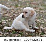 yellow labrador retriever  only ... | Shutterstock . vector #1029422671