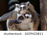 Small photo of Lemurs. Hatchling on the back of the mother