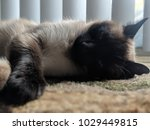 Sleeping Cat Siamese Pet Layin...
