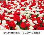 a flowerbed of red and white... | Shutterstock . vector #1029475885