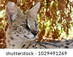 Profile Of A Serval Looking Ou...