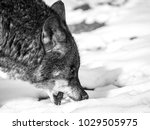 Wolf Eating Snow