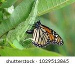 monarch butterfly sitting on a... | Shutterstock . vector #1029513865