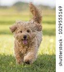 Stock photo cute hairy puppy running on grass toward camera 1029555169