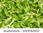 fresh leaf lettuce corn on... | Shutterstock . vector #1029562027