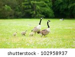 Couple Of Canadian Geese With...