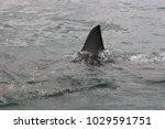 dorsal fin of great white shark ... | Shutterstock . vector #1029591751