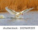 white swan waving wings on the... | Shutterstock . vector #1029609205