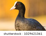 coot on a sunny spring day  ... | Shutterstock . vector #1029621361