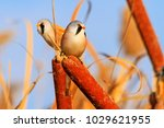 birds with black mustache on a... | Shutterstock . vector #1029621955