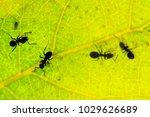 black ant under green leaves... | Shutterstock . vector #1029626689