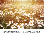 daisy flowers is blooming in... | Shutterstock . vector #1029628765