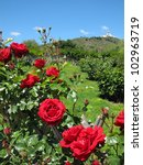 Stock photo rose in the park 102963719